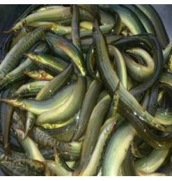 Baim Skinless (Long) Eel