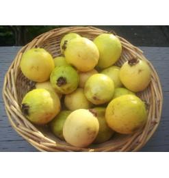 Guava (Fresh) 1kg