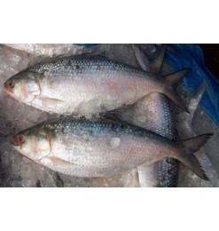 ငါးသလောက် /  Tenualosa ilisha 1600-1650gm/pc