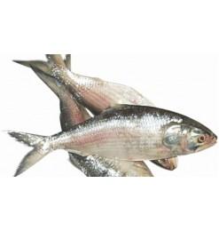 Hilsha Fish 800-880gm